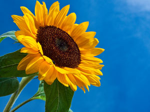 sunflower_shutterstock_300
